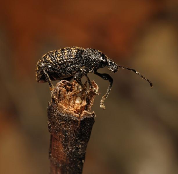 Vine Weevil - Otiorhynchus sulcatus, September