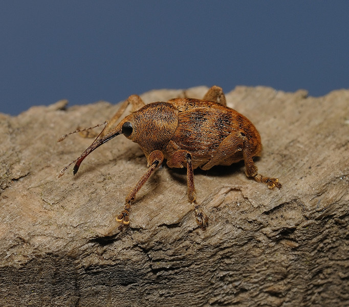 Weevil - Curculio sp, April