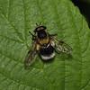Volucella bombylans male, June
