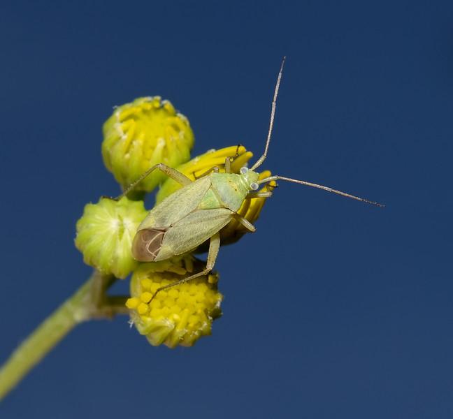 Closterotomus norvegicus, August