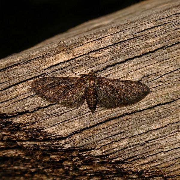 Pug Moth, March