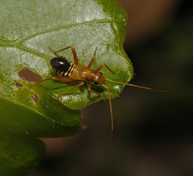 Miris striatus nymph, April