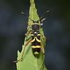 Clytus arietis, June