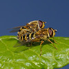 Syrphus sp pair, April