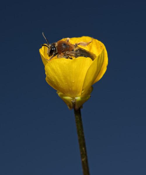 Andrena haemorrhoa female, May