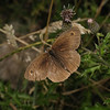 Meadow Brown male, August