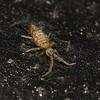 Entomobrya sp, January