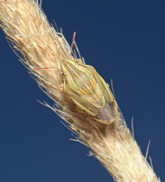 Bishop's Mitre Shieldbug - Aelia acuminata, June