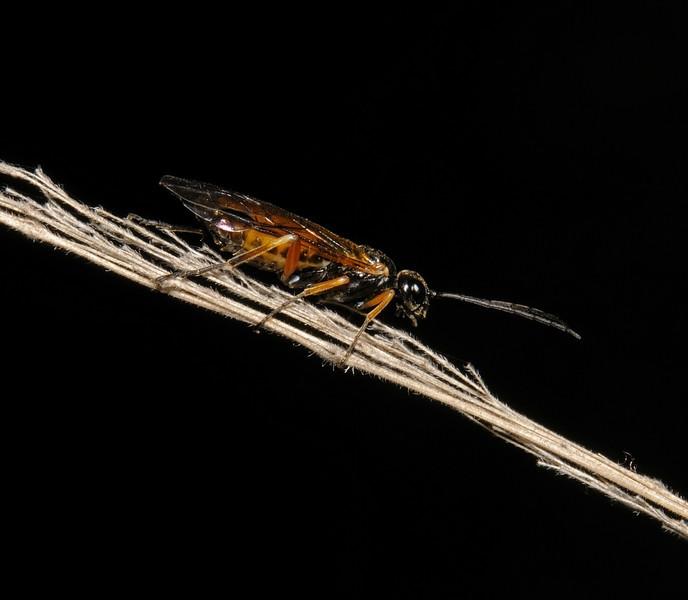 Apethymus filiformis, October