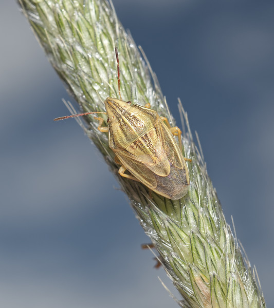 Bishop's Mitre Shieldbug - Aelia acuminata, May