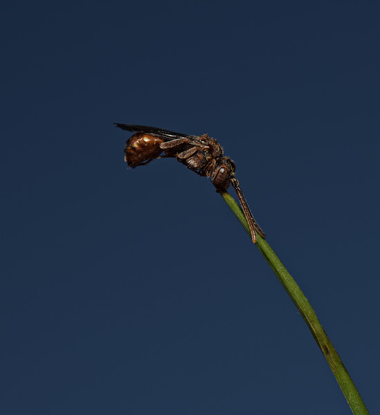 Nomada flavoguttata, May