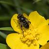 Eristalinus sepulchralis, May