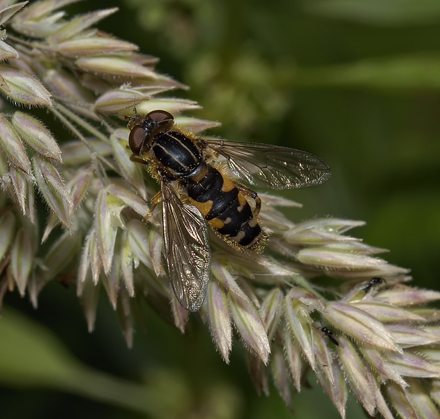 Anasimyia lineata, June