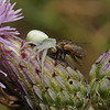 Misumena vatia with prey, July