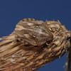 Tortoise Shieldbug - Eurygaster testudinaria, September