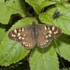 Speckled Wood, May