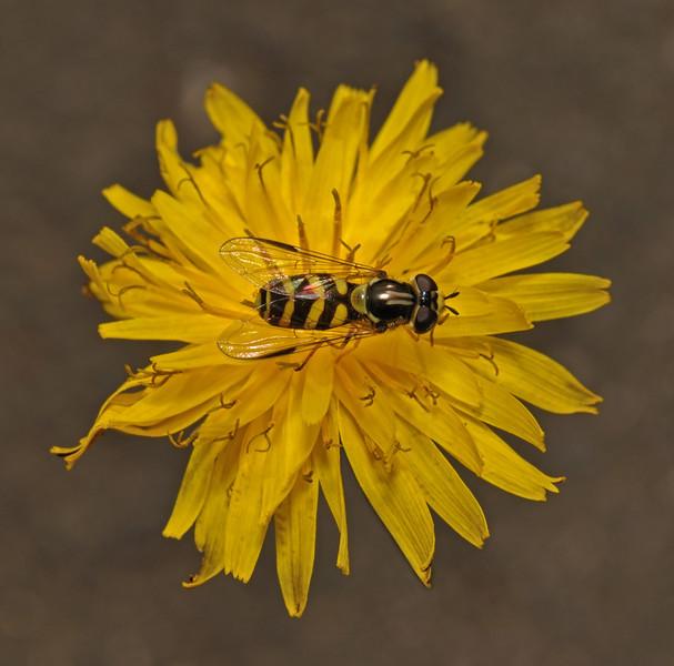 Dasysyrphus albostriatus, July
