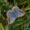 Common Blue female, May