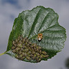 Parent Bug - Elasmucha grisea, August