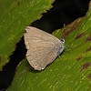 Purple Hairstreak, September