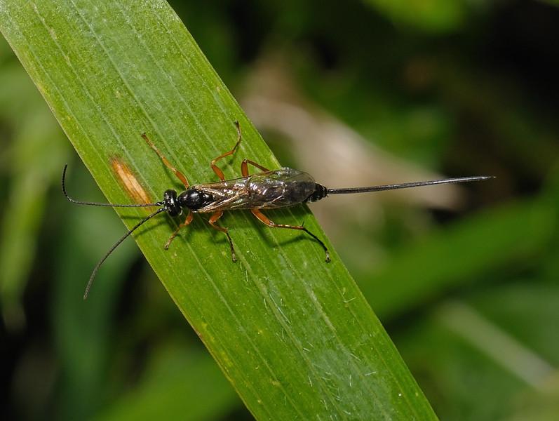 Ichneumon wasp, September