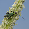 Oedemera nobilis male, May