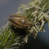 Bishop's Mitre Shieldbug - Aelia acuminata, April