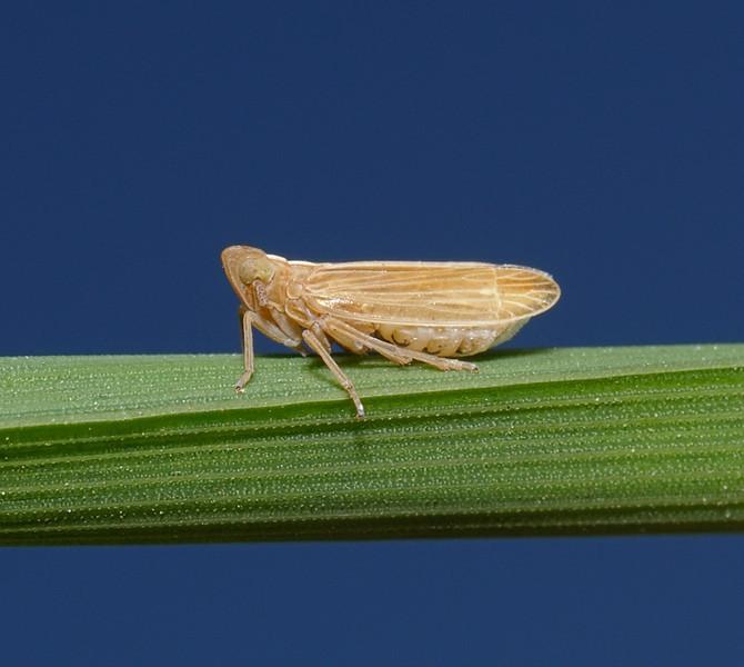 Delphacid sp, May