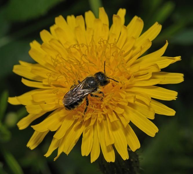 Heriades truncorum?, July