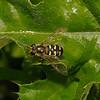 Eupeodes sp, May