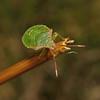 Hawthorn Shieldbug - Acanthosoma haemorrhoidale 5th instar nymph, August