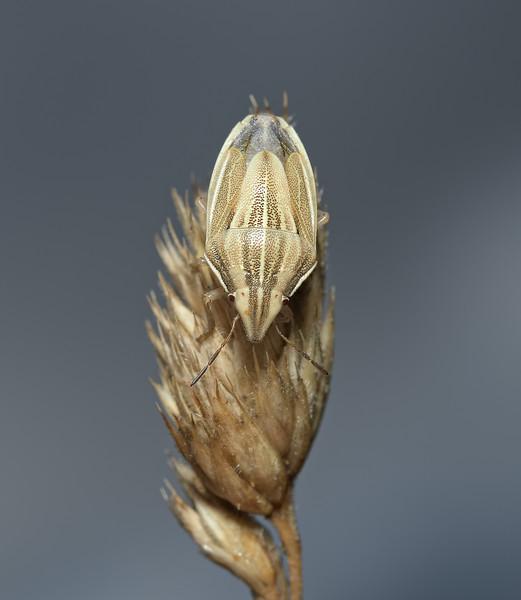 Bishop's Mitre Shieldbug - Aelia acuminata, July