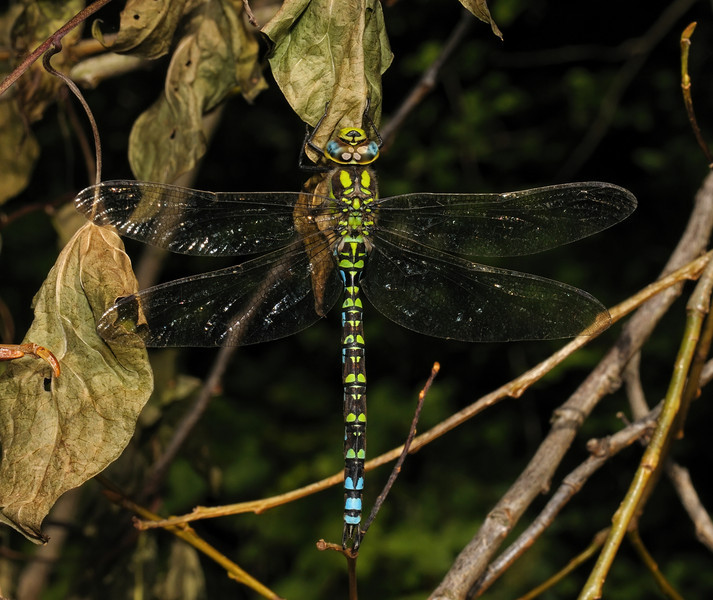 Male Southern Hawker - Aeshna cyanea, September