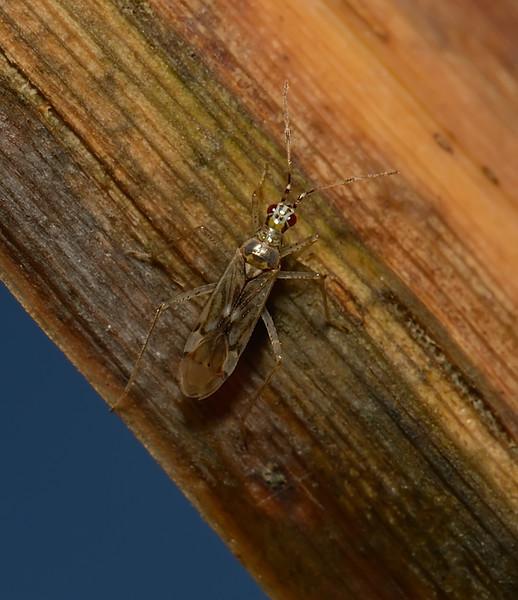 Dicyphus epilobii, October