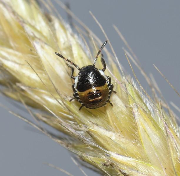 Green Shieldbug - Palomena prasina nymph, June