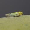 Leafhopper, December