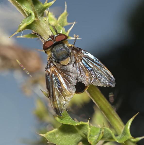 Phasia hemiptera male, August