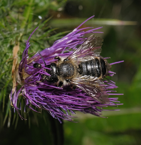 Megachile sp,  August