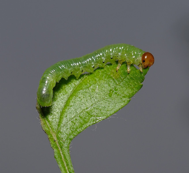 Sawfly larva, April