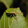 Hawthorn Shieldbug - Acanthosoma haemorrhoidale mid instar nymph, August