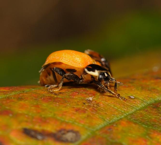 Ladybird metamorphosis, October