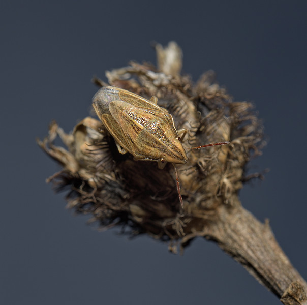 Bishop's Mitre Shieldbug - Aelia acuminata, October