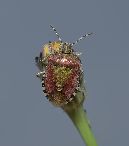 Sloe Shieldbug, Dolycoris baccarum, June