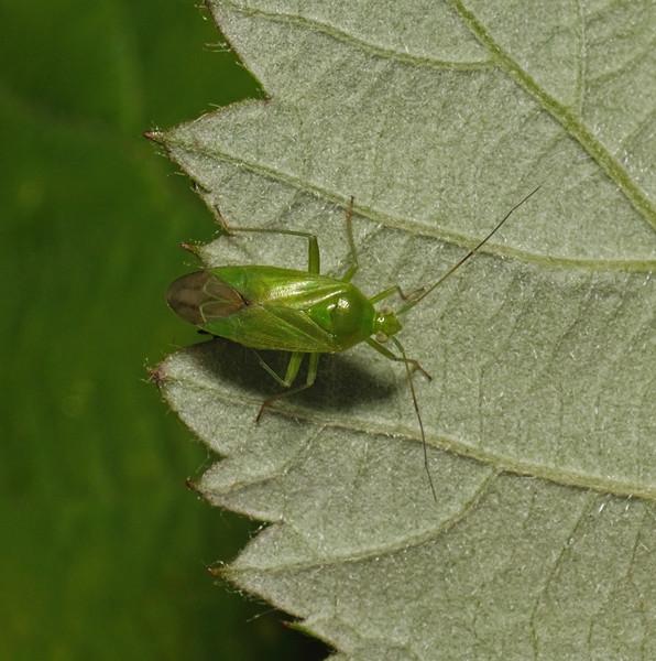 Lygocoris pabulinus, June