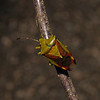 Birch Shieldbug - Elasmostethus interstinctus, April