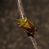 Birch Shieldbug - Elasmostethus interstinctus, April