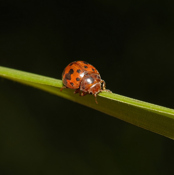 Subcoccinella 24-punctata, April