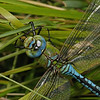 Male Emperor Dragonfly - Anax imperator, July
