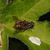 Helophilus sp, April