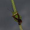 Hawthorn Shieldbug - Acanthosoma haemorrhoidale, April